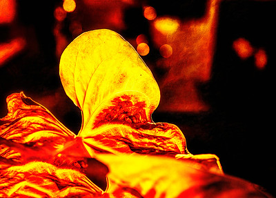 Firey Leaf II Copyright 2021 Steve Leimberg UnSeenImages Com L1000264