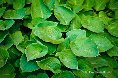 Hosta Green Leaves