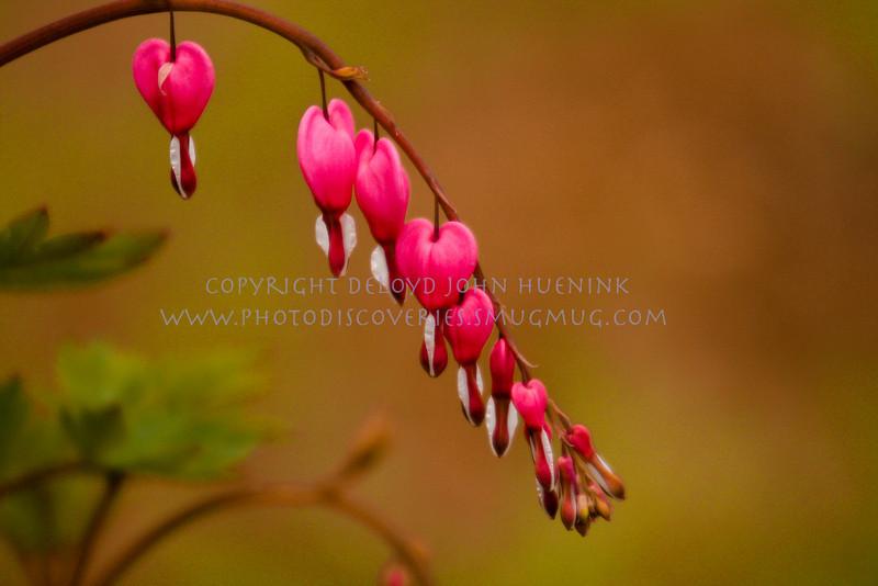 Bleeding Hearts in Spring