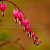 Bleeding Hearts in Spring