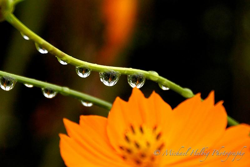 Cosmos & Rain Drops