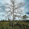 Tree at White Oak - Copyright 2017 Steve Leimberg - UnSeenImages Com _Z2A7896