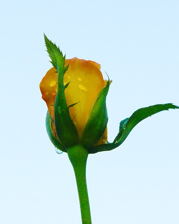 Yellow Rose Bud with Morning Dew