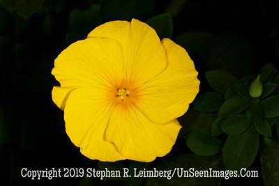 Mellow Yellow oil _L8I3468