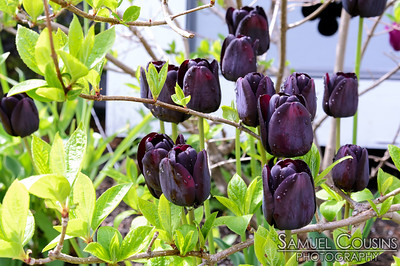 Some very dark tulips