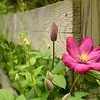 Clematis Vine on a wood post