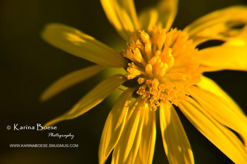 close up HOYA yellow african daisy flower DSC_1411 1