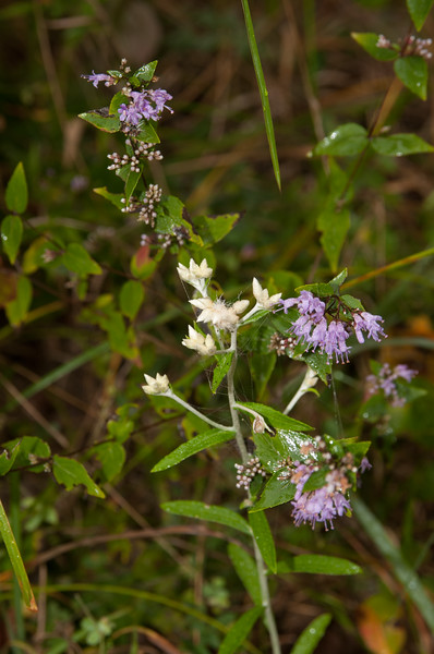 Roadside wildflower - Norfork River Arkansas (11)
