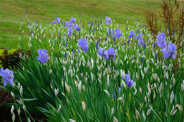 My Mother's Iris