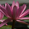 2-Water Lilly<br /> Lodi Park, Delhi, India