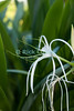 St. Eustatius (Statia) - Spider Lily Flower.  © Rick Collier