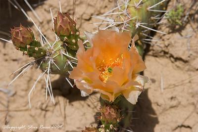 Cactus blossom - Dinosaur National Monument, Utah