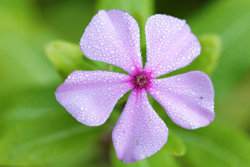 Pink Periwinkle (Catharanthus roseus) covered in Dew - Alfred B. Maclay Gardens State Park, Florida