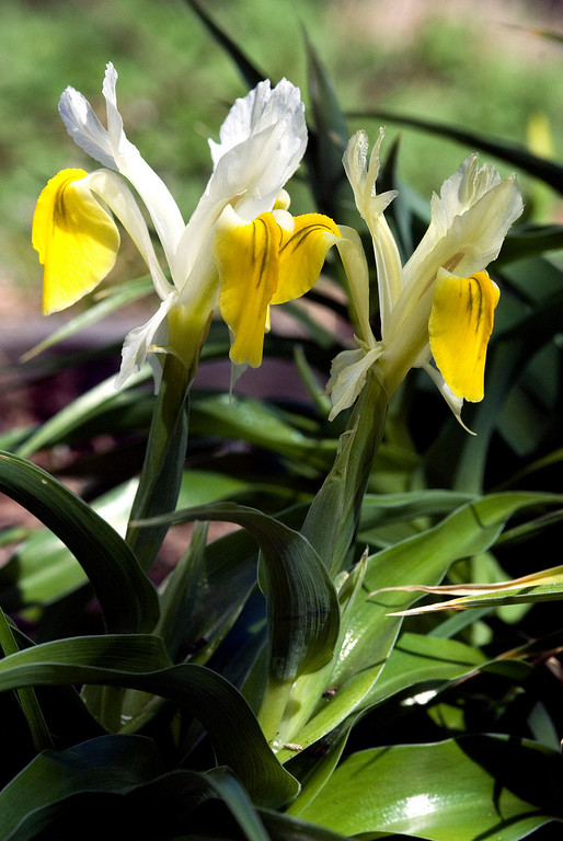 White-yellow iris.
