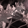 Infrared daffodils 1