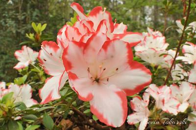 KJT_2011-03-16_001 Azaleas