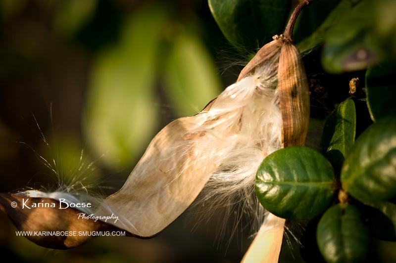 DSC_5310 jasmine seedpod white hair garden 2010 1