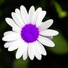 DSC01561_ false_purple