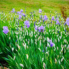 Iris for Easter