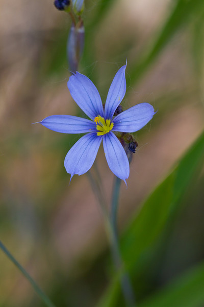 Blue-eyed grass - May 20, 2012