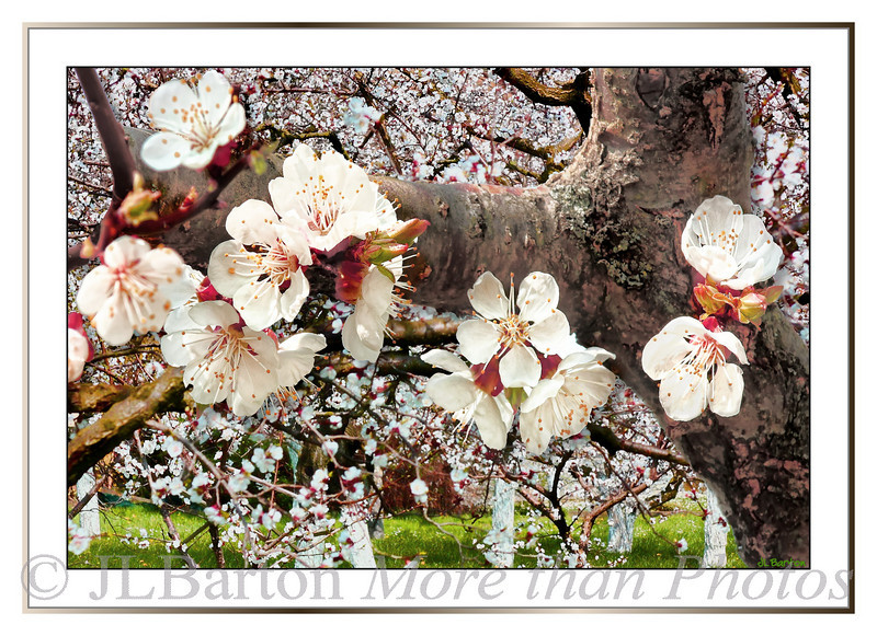 Apricot Blossoms in Spitz an der Donau