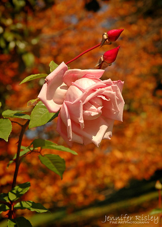 Pink Rose & Autumn Leaves
