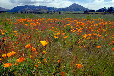 California Poppies in a field near Wanaka, New Zealand