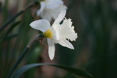 Daffodil (IMG_017)