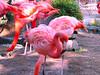 Flamingos at New Orleans Zoo