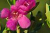 Texas sage purple flower SOOC