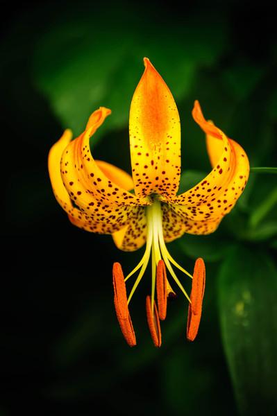 Turk's Cap Lily