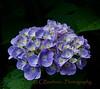 Blue Hydrangea Color