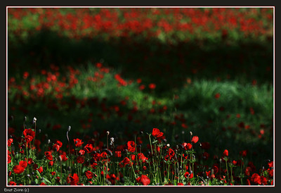 Layers of anemones and light