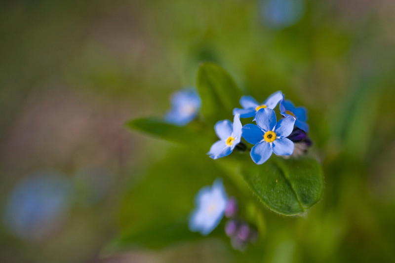 Forget Me Not 01