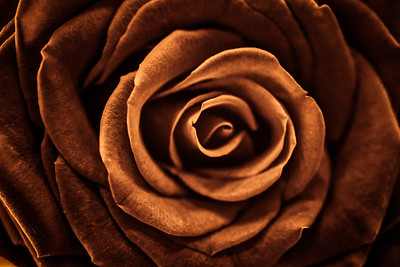 Coffee Rose