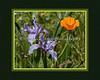 """""""Springtime Flowers"""" <br /> Pacific Coast Iris (Iris Douglasiana) & California Poppy"""
