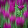Tulips -Spring 2014