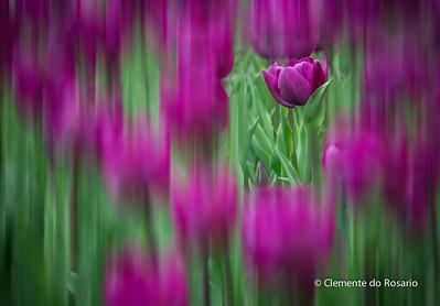 Tulips -Spring 2014