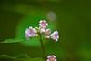 Pink Wintergreen (Pyrola asarifolia), a member of the Heath family in Glacier National Park