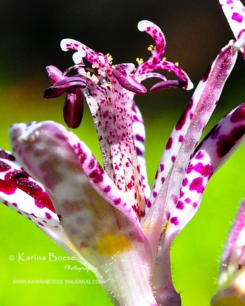 10-19-08 toad lily very closeup-20081019