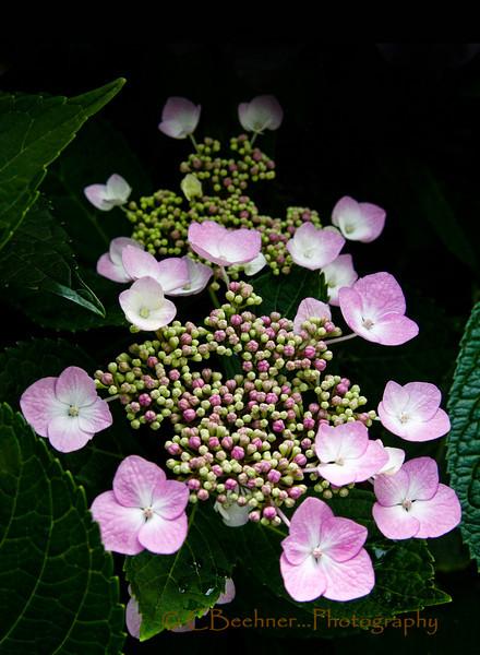 Hiding Hydrangea Color