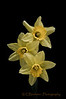 Yellow Daffodiles...<br /> <br /> Simple, pure yellow, about 2-3/4 inches across...