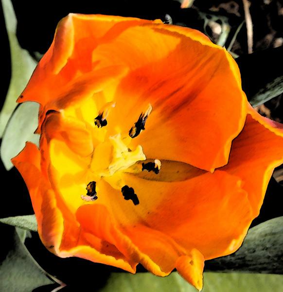 Orange Tulip in Watercolor/Sumi Filter - May 12, 2010