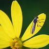 Blue Bee on Sunflower