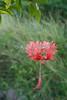 St. Eustatius (Statia) - Japanese Lantern Flower.  © Rick Collier