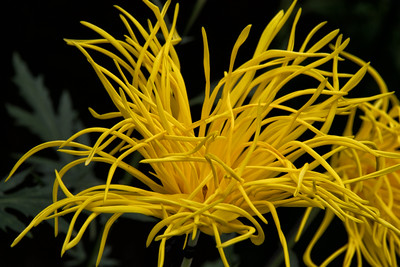 Yellow Japanese ikebana flower