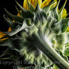 Becky's SunFlower Revisited - Copyright 2016 Steve Leimberg - UnSeenImages Com L1020707