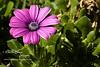 03-01-09 daisy pink d50 prime 50mm garden green-20080229