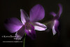 orchid dendrobium blue flower soft