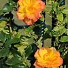 orange climbing roses